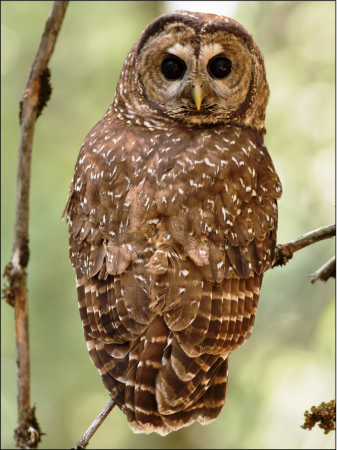 A-female-California-spotted-owl-Strix-occidentalis-occidentalis-within-the-Eldorado